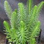 Víziló farok (Hyppuris vulgaris)