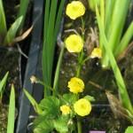 """Réti boglárka, telt virágú (Ranunculus acris """"Multiplex"""")"""