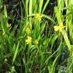 Békaboglárka (Ranunculus flammula)