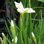 "Szibériai nőszirom (Iris sibirica ""Snow Queen"")"