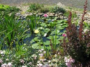 Buja növényzetű kerti tó