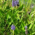 Sellővirág (Pontederia cordata)