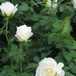 Bokor rózsák