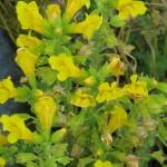 Chilei bohócvirág (Mimulus Luteus)