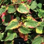 "Kaméleon virág (Houttuynia cordata ""Chameleon"")"