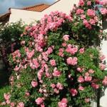 Futó rózsa