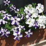 Virágföldek balkon növényeknek