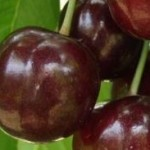 Katalin cseresznyefa