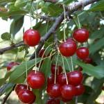 Kedvenc -szolnoki kertészet- gyümölcsfa biztos forrásból