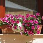 Kedvenc-szolnoki kertészet- a balkon növény oázis