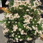 Kedvenc -szolnoki kertészet- a leánder imádók oázisa
