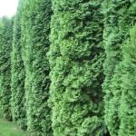 Kedvenc -szolnoki kertészet- az örökzöld választás
