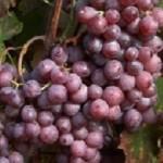 Kinga szőlő