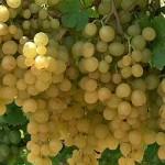 Kozma Pálné muskotály szőlő