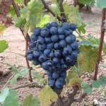 Melinda szőlő