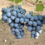 Moldova szőlő