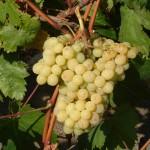 Narancsízű szőlő