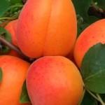Orangered kajszibarack