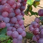 Piros saszla szőlő