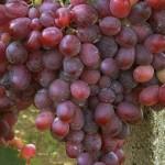 Rizamat szőlő
