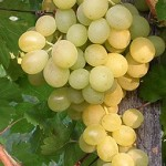 Suzy szőlő