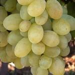 Viktória szőlő