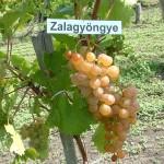 Zalagyöngye szőlő