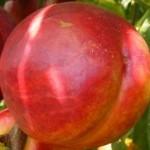 Andosa nektarin