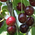 Csengödi csokros meggyfa