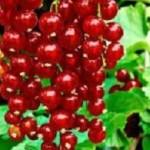Fertődi hosszúfürtű piros ribiszke