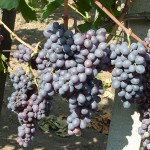 Kismis Moldavszkij szőlő