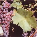 Kósa szőlő