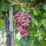 Lidi szőlő