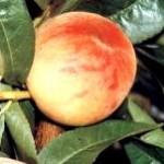 Mariska őszibarackfa