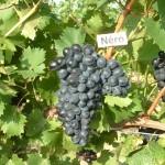 Néro szőlő