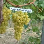 Palatina szőlő