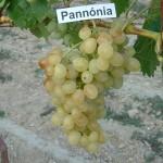 Pannónia kincse szőlő