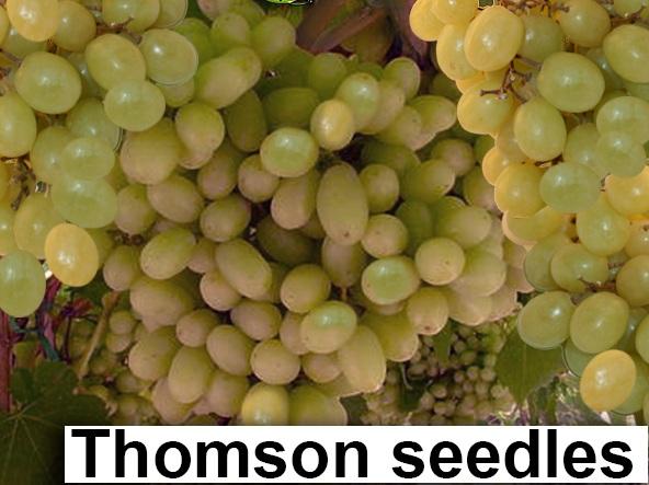 Thompson seedles