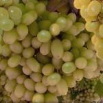 Thompsonseedles szőlő