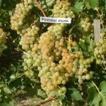 Pölöskei muskotály szőlő
