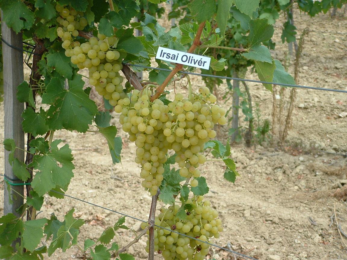Irsai olivér