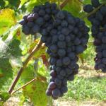 Conegliánó (Adriána) szőlő