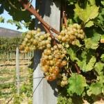 Vaníliai muskotály szőlő