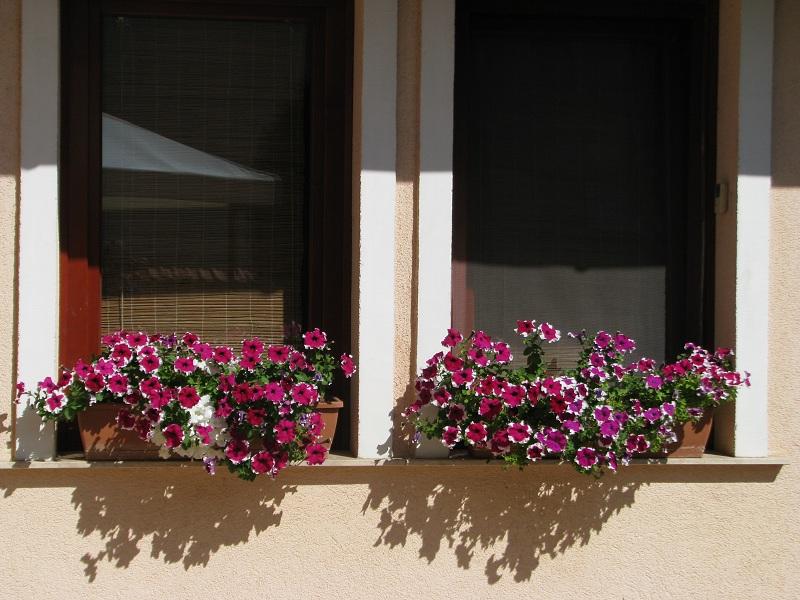 A petúnia a vízigényes növények közé tartozik