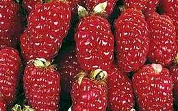 A szedermálna különlegesség a gyümölcstermő növények között