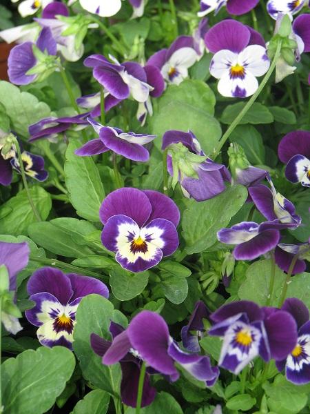 Szép, rajzos virágfejekkel díszlik