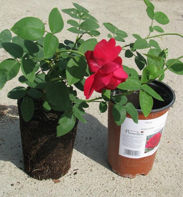 Fejlett gyökérzetű, életerős, angol rózsa