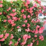 Futó rózsák