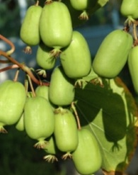 Jumbo mini kiwi