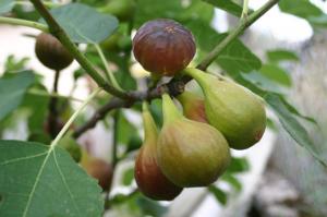 A füge az egyik legrégebb óta termesztett a gyümölcstermő növények között